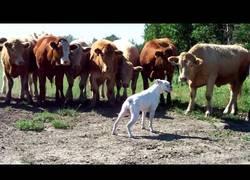 Enlace a Las vacas que sentían curiosidad por un boxer que impone mucho respeto