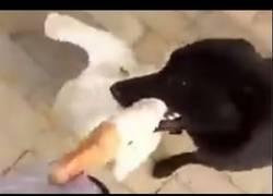 Enlace a Este perro salvó de un ganso a su dueño de la mejor manera que sabe