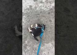 Enlace a Este perrito no es el mejor cavando, pero nunca se rinde