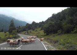 Enlace a Esta ovejita le propina una paliza a su pastora en plena carretera