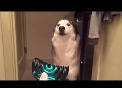 Enlace a Este perro ha encontrado su peor enemigo: unas pinzas de pelo