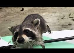 Enlace a El mapache que intentó robarle comida a una chica en un kayak