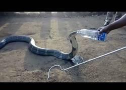 Enlace a Dan de beber con una botella a esta cobra rescatada como si fuese una persona