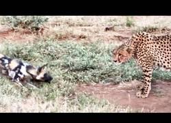Enlace a La lucha de varios perros salvajes para quitarle la comida a un temible guepardo