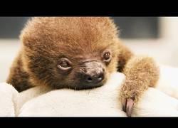 Enlace a Él es el nuevo bebé de oso perezoso que ha nacido en el Zoo de Memphis