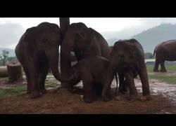 Enlace a Varios elefantes tratan de proteger de la lluvia a su bebé