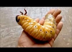 Enlace a La brutal metamorfosis del escarabajo Hércules