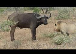 Enlace a Estos dos leones no esperaban esa respuesta del búf alo
