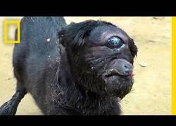 Enlace a La cabra cíclope que es el centro de atención en la India