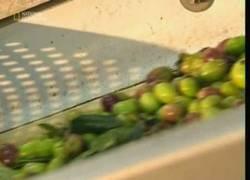 Enlace a El proceso para obtener aceite de oliva