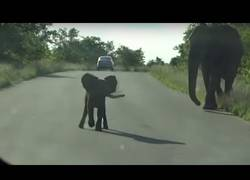 Enlace a La protección de una mamá elefante con su hijo al ver turistas