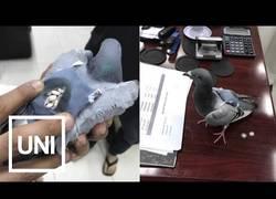 Enlace a Usan palomas para transportar droga en su interior