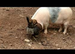 Enlace a El gran trabajo en equipo de este cerdo y gallina para buscar comida