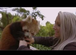 Enlace a El panda rojo que ama que le rasquen en el vientre