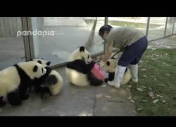 Enlace a Ser cuidadora de pandas no es nada fácil