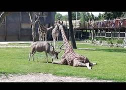 Enlace a El antílope que atacó salvajemente a una jirafa en pleno zoo ante la mirada de niños