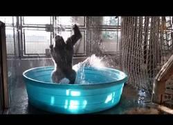 Enlace a Nunca has visto un gorila disfrutar tanto de un baño