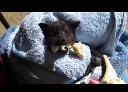 Enlace a Dando de comer plátano a este zorro volador encontrado perdido