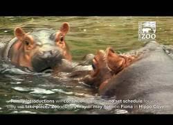 Enlace a El primer baño de fiona con sus padres hipopótamos