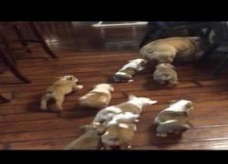 Enlace a El gran estrés de un bulldog al ser padre de muchos cachorros