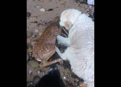 Enlace a El increíble momento en el que un golden retriever salva a un ciervo a punto de ahogarse