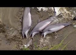 Enlace a Los delfines que llegan hasta la orilla para comer arrastrándose por la tierra