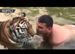 Enlace a Intenta seducir a este tigre en plena piscina