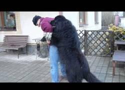 Enlace a A esta bola de pelo gigante de 70 Kilos la gusta que la abracen