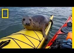 Enlace a Adorable foca se sube en el Kayak