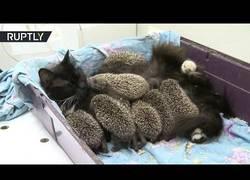 Enlace a Este gatete ha adoptado a todas estas crías de erizo porque no cree en la gestación subrogada