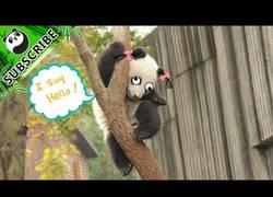 Enlace a Los pandas se caen un número de veces infinito al día