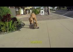 Enlace a La gran habilidad de este perro con el skate