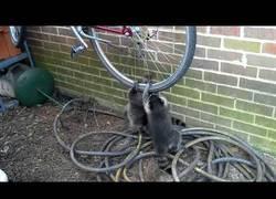 Enlace a Estos mapaches han encontrado nuevo juguete en esta bici
