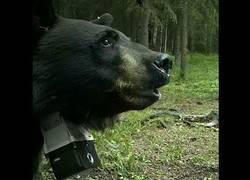 Enlace a Husky siberiano se lleva el susto de su vida cuando este oso empieza a perseguirle y le ataca