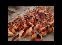 Enlace a ¡¡POLLOS AL ATAQUE!! Estampida de aves que se vuelven literalmente LOCAS volando por comida