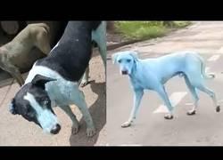 Enlace a [Inglés] Están apareciendo perros azules en Índia por esta preocupante razón