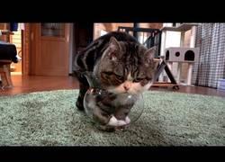 Enlace a El reto de este gato era meterse en la pecera... pero estaba demasiado gordo :(