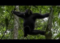 Enlace a Así se comportan los chimpancés en plena fase de caza por su hábitat