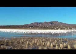 Enlace a Miles de gansos comienzan a emigrar