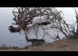 Enlace a Parecía una pesca normal de esta cigüeña hasta que se dio cuenta de una gran sorpresa b ajo el agua