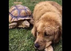 Enlace a La tortuguita y el Golden Retriever que se hicieron los mejores amigos