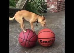 Enlace a Un humano reta a un perrito a ver si tiene su misma habilidad sobre pelotas de baloncesto