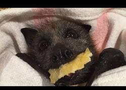Enlace a Encuentran a un murciélago herido en un hotel y lo alimentan a base de fruta