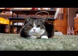 Enlace a Este gato decide que quiere ponerse una bolsa como vestimenta y la calza con clase