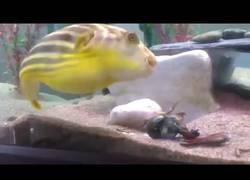 Enlace a Este cangrejo se pelea con un pez globo sin saber lo que le ocurriría