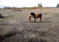 Enlace a Este poni y su amigo cánido se hacen amigos inseparables