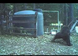 Enlace a Un oso empieza a jugar al lado de un tanque de agua y se acaba llevando un golpe donde más duele