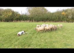 Enlace a Ninguna de estas ovejitas respeta al perro que deberían temer