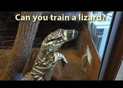 Enlace a ¿Se puede entrenar a un lagarto como a un perro?