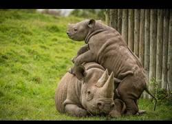 Enlace a Este bebé de rinoceronte quiere jugar con su madre y así se lo hace saber